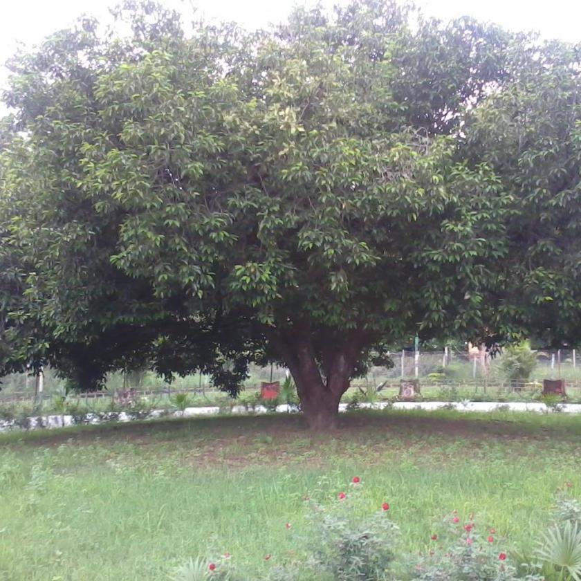 Osho's mulshree tree